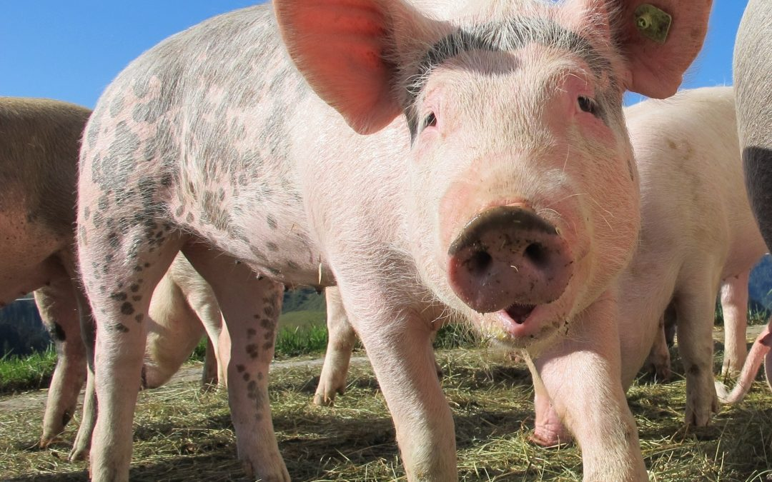 Cop Attempts to Shoot Cow, Shoots Fellow Pig Instead